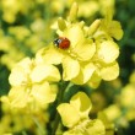 Ladybug on flower — Stock Photo