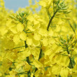 Rapeseed flowers — Stock Photo #3065473