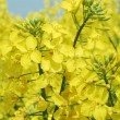 Rapeseed flowers - Stock Photo