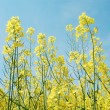 Canola flowers — Stock Photo