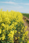 Rapeseed flowers — Photo