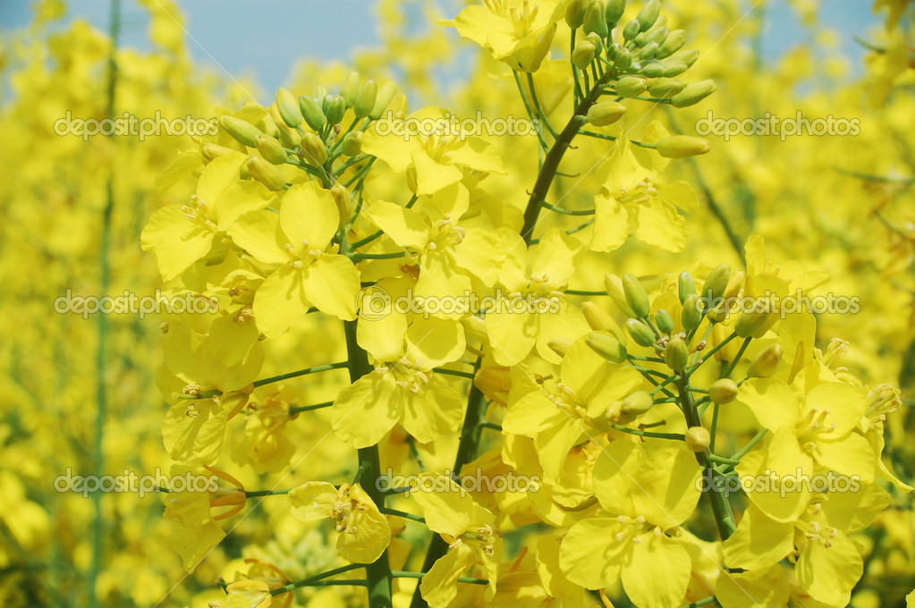 Canola flowers against blue sky  Stock Photo #3065473