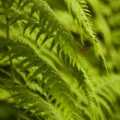 Green wild fern — Stock Photo