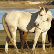 Brown and white horses — Stock Photo