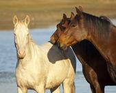 коричневые и белые лошади — Стоковое фото