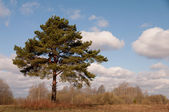Big branchy pine — Stock Photo
