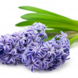 Blue hyacinth isolated on white — Stock Photo