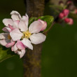 Pink apple tree blossom — Stock Photo