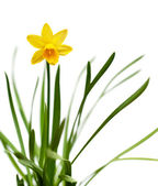 Yellow daffodil isolated on white — Stock Photo