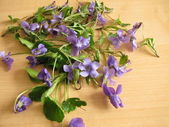 Violets, Viola odorata — Stock Photo