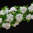 Flowers of Crataegus - Stock Photo