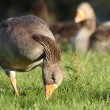 Greylag goose - Stock Photo