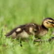 Young duckling — Stock Photo