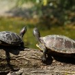 Turtles on a log — Stock Photo #3438103