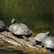 Turtles on a log — Stock Photo #3438109