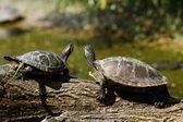 Turtles on a log — Stock Photo