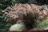 Fountain Grass — Stock Photo