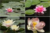 Water lilies in bloom — Stock Photo