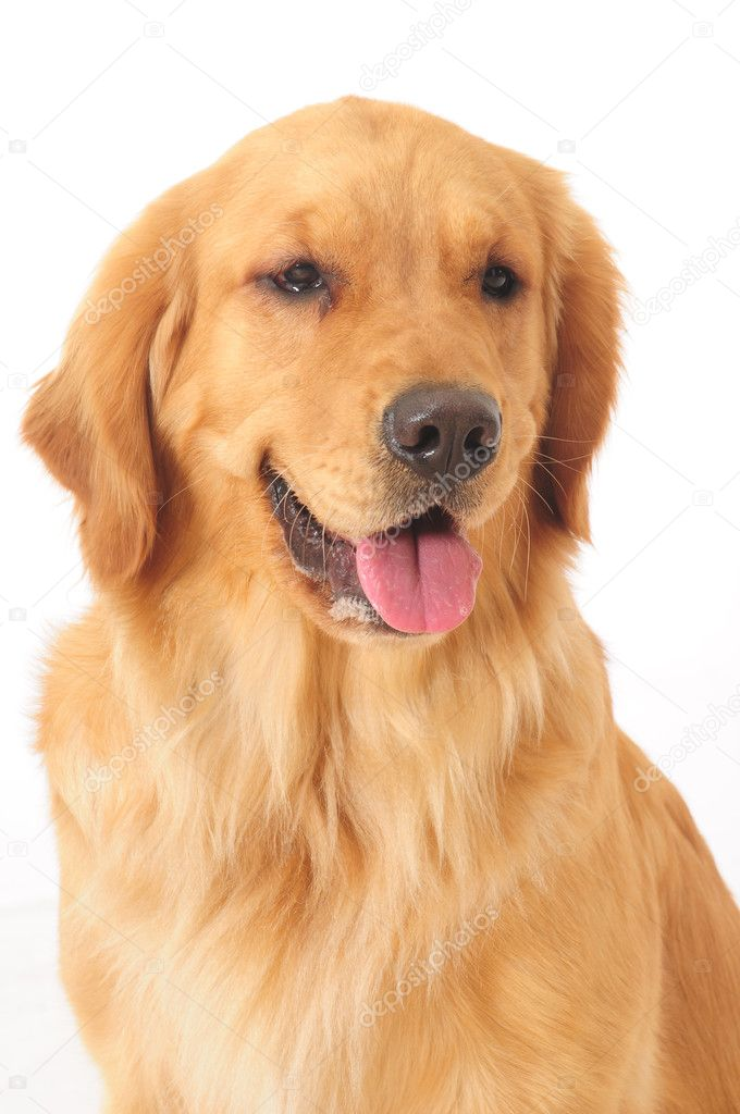Golden retriever. — Stock Photo #2714553