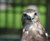 Patrząc ptaków drapieżnych — Zdjęcie stockowe