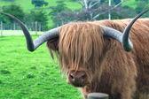 Hamish the Highland bull — Stock Photo