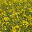 Rape field — Stock Photo #2801142