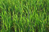 Grass blades lit by summer sunlight — Stock Photo