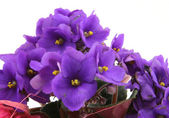 Bunch of fresh violets on white — Stock Photo