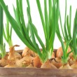 Chives — Stock Photo #3024062