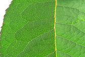 Leaf details — Stock Photo