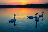 Swan familie — Stockfoto