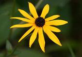 žlutá kráska — Stock fotografie