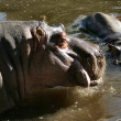 Stock Photo: Hippos
