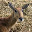 Young waterbuck - Stock Photo