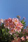 Pink oleander flower — Stock Photo