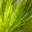 Macro on a pine - Stock Photo
