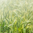 Stock Photo: Crop in morning light