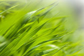 Herbe verte fraîche dans la lumière du matin — Photo