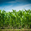 Corn field — Stock Photo #3513011
