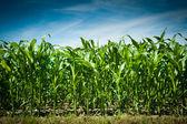 トウモロコシ畑 — ストック写真