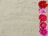 A strip of carnation flowers in the sand — Stock Photo