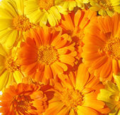Wallpaper from marigold flowers — Stock Photo