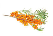 Branch with berries of sea buckthorn — Stock Photo