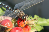 Dragonfly on hip, close up — Stock Photo
