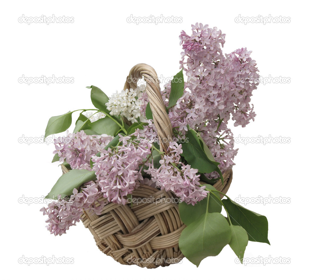 Lilac  in the basket on the white background — Stock Photo #3335397