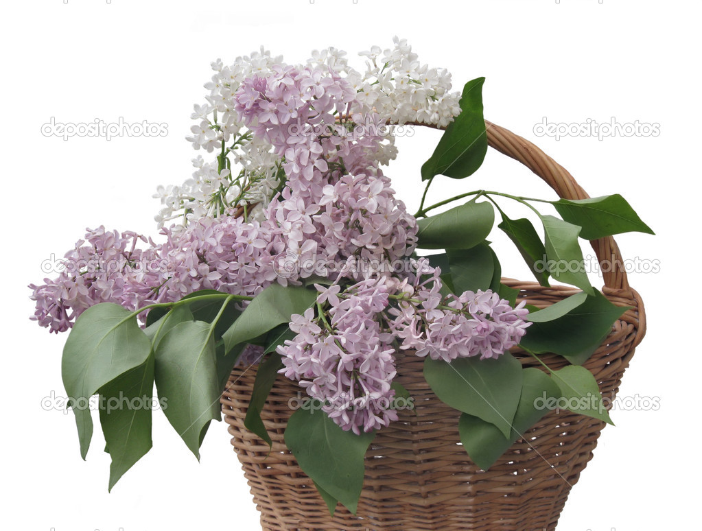 lilac in the basket on the white background — Stock Photo #3335811