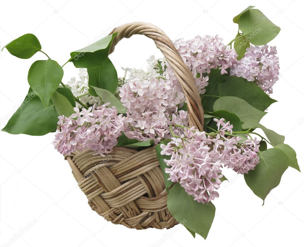 Lilac  in the basket on the white background — Stock Photo #3340583