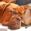 Beautiful dog sleeping - Stock Photo