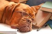 Beautiful dog sleeping — Stock Photo