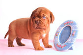 Puppy and a Mirror — Stock Photo